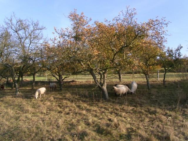 Schafe_unter_Obstbaeumen