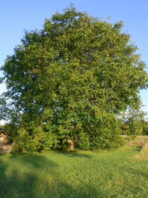 Walnussbaum