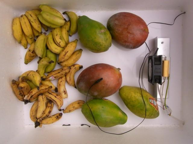 Obst_in_der_Reifekammer