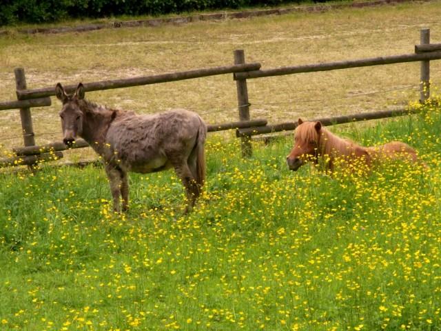 Esel_und_Pony