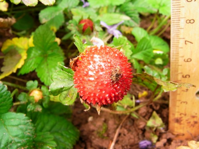 Scheinerdbeere_Frucht