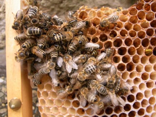 Wabe_mit_Bienen