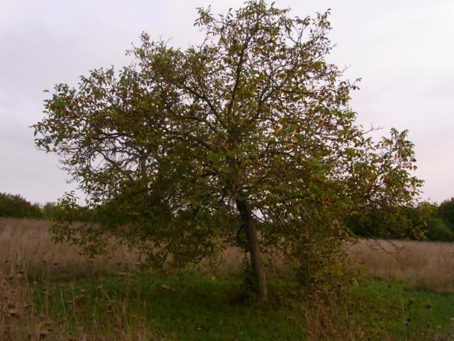 Walnussbaum_im_Herbst