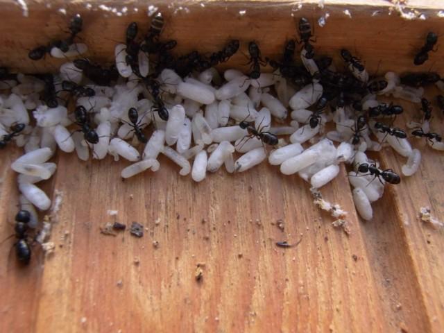 Ameiseneier