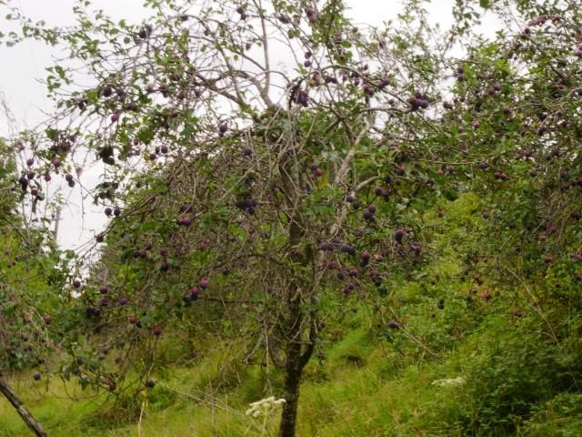 Frankreich_Pflaumenbaum