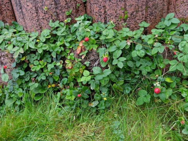 Scheinerdbeeren
