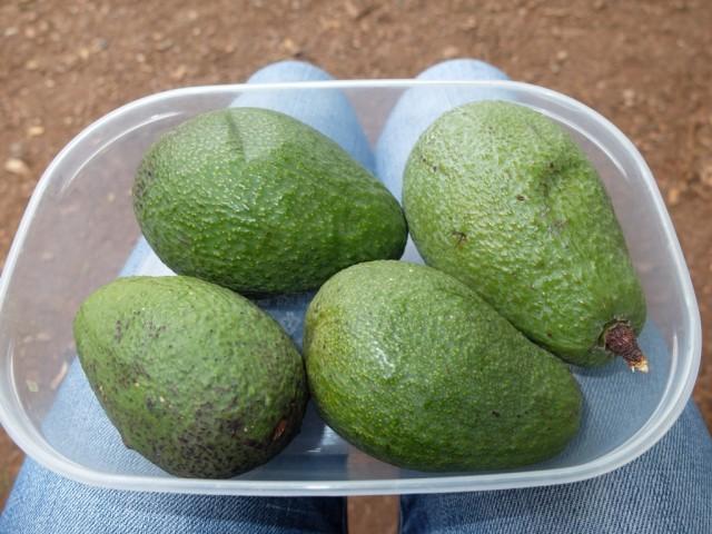 Avocados_in_der_Schale