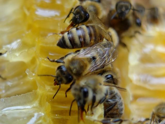 Bienen_an_offenen_Wabenzellen
