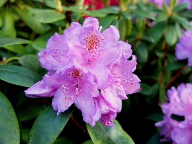 Rhododendron_Bluete