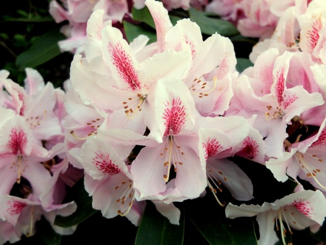 Rhododendron_Bluete_weiss