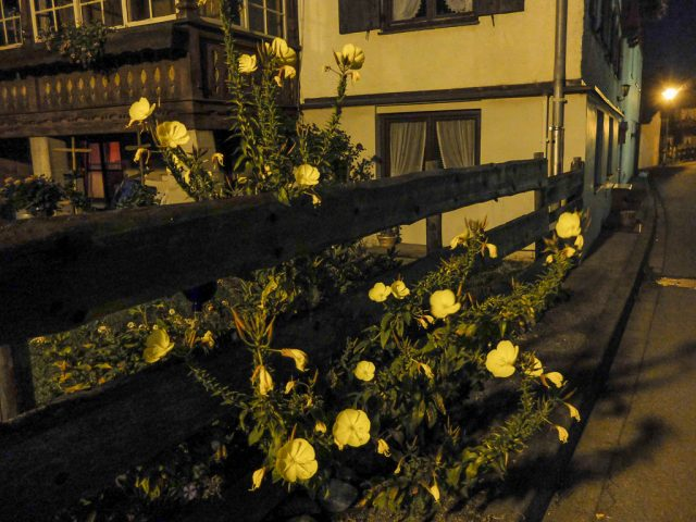 Nachtkerze_bei_Nacht