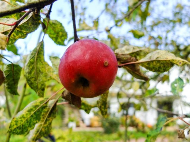 Apfel_rot