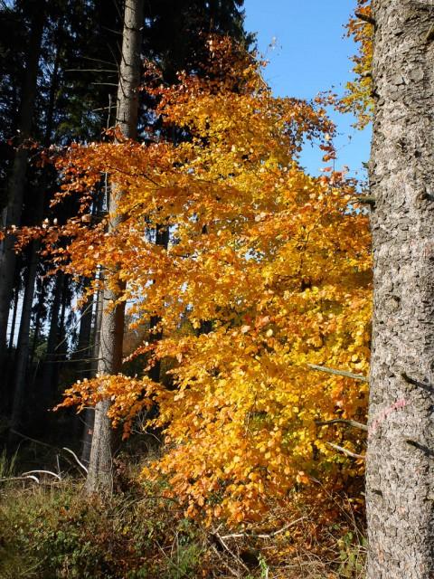Buche_im_Herbst
