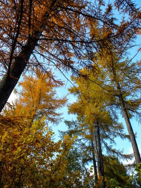 Laerchen_im_Herbst