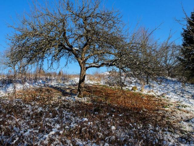 Apfelbaum_im_Winter