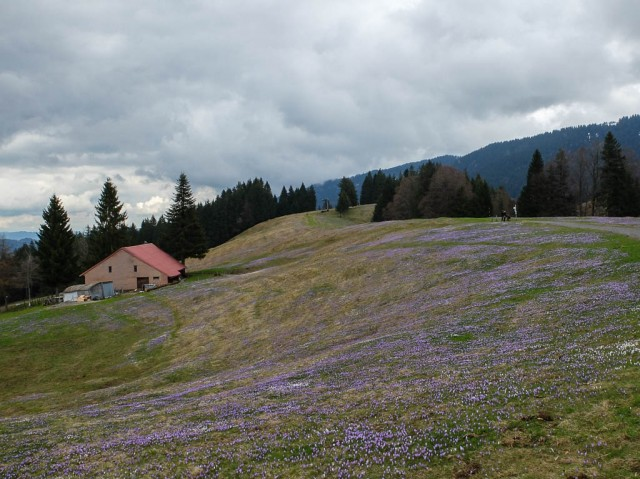Hochsiedel_Alpe_Krokusbluete