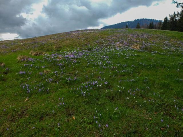 Hochsiedel_Alpe_Krokusbluete_2