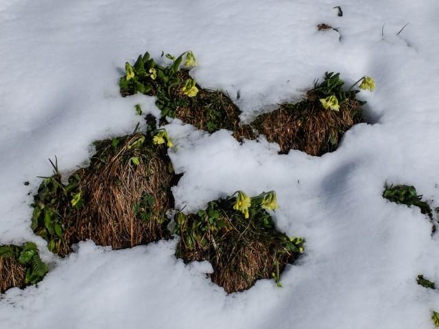 Schluesselblumen_im_Schnee