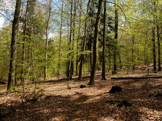 Traumschleife_Baerenbachpfad_Buchenwald