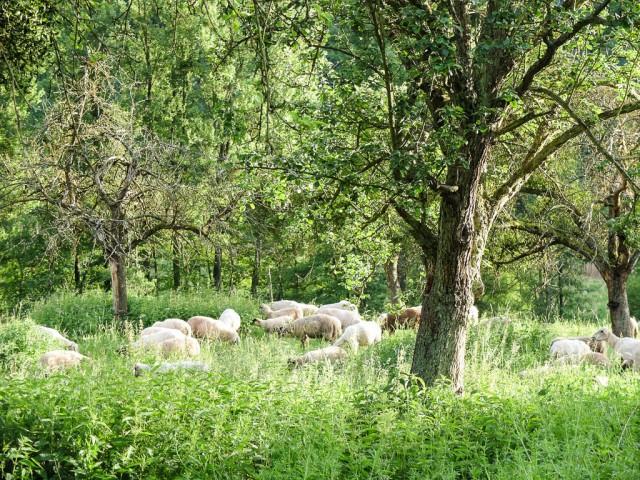Schafe_unter_Baeumen
