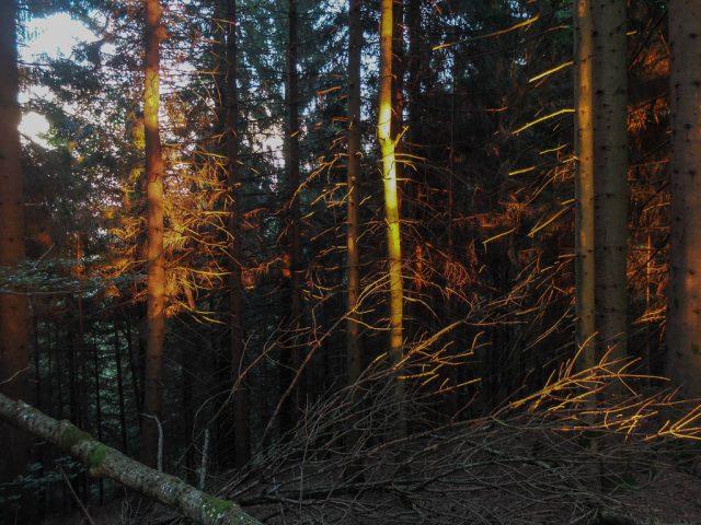 Nadelwald_im_Licht_der Abendsonne