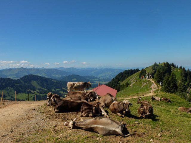 Rinder_auf_dem_Hochgrat