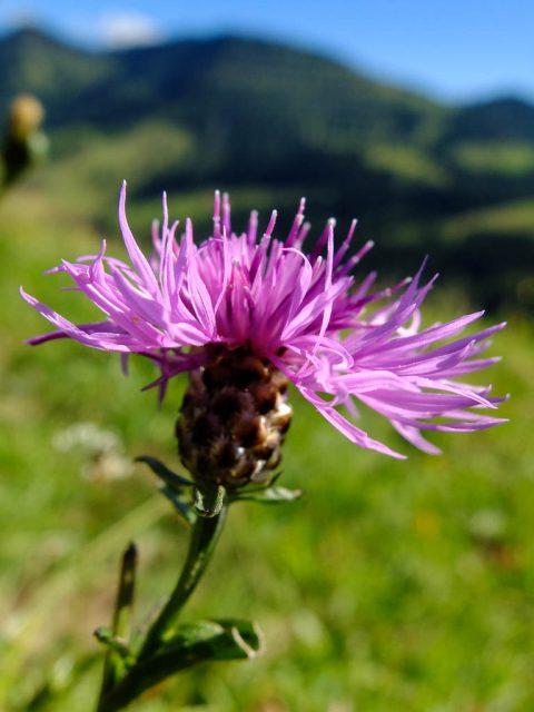 Wiesen_Flockenblume_Bluete