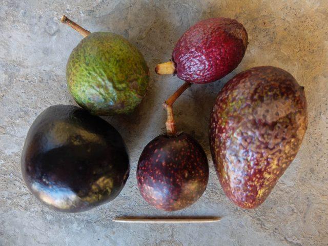 wilde_avocados