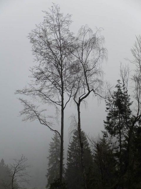 baeume_im_nebel